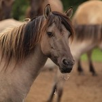 Ancient wild horses help unlock past