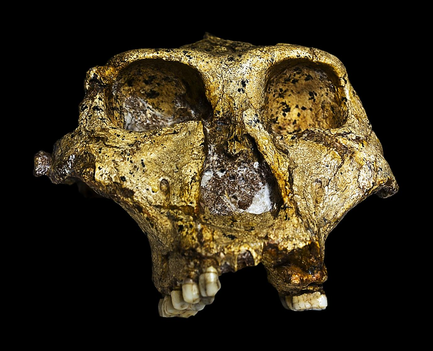 Fossil cranium of SK Swartkrans number 48 Wiki Commons