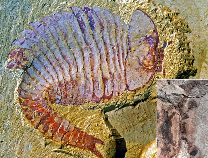 This picture shows a nearly intact fossil of Fuxianhuia protensa