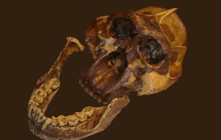 2 million years ago, human relative 'Nutcracker Man' lived on tiger nuts