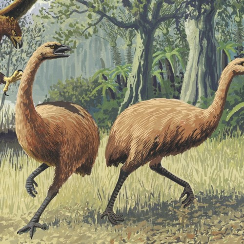 Ancient DNA shows moa were fine until humans arrived