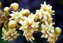 Amborella, a record of the evolution of flowering plants
