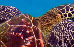 Tracking turtles in time may resolve evolutionary debate