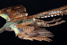 Archaeopteryx plumage: First show off, then take off