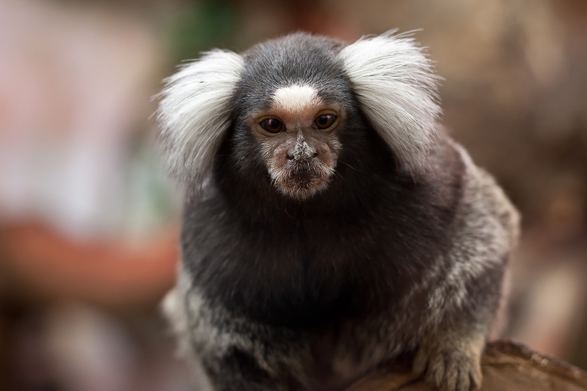 Common_marmoset_(Callithrix_jacchus)