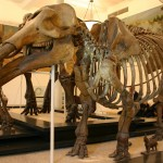 Meet the gomphothere: UA archaeologist involved in discovery of bones of elephant ancestor