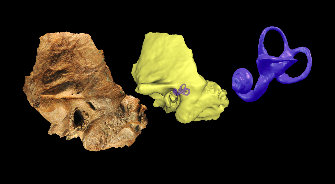 Late archaic human temporal bone from northern China with the extracted temporal labyrinth : Washington University in St. Louis