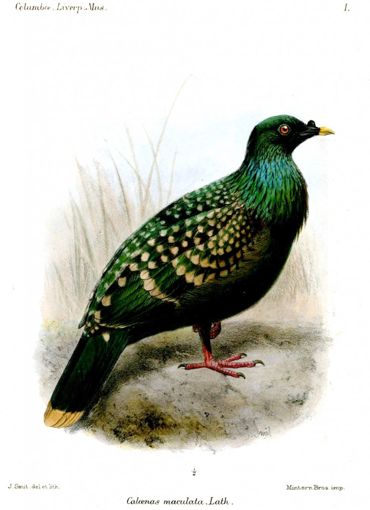 Spotted Green Pigeon: WikiPedia