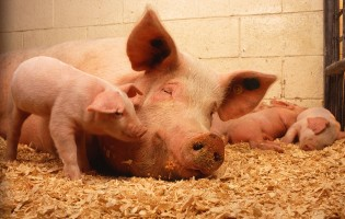 Iberian pig genome remains unchanged after 5 centuries