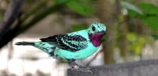 New 'tree of life' traces evolution of a mysterious cotinga birds