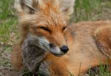 Around the world in 400,000 years: The journey of the red fox