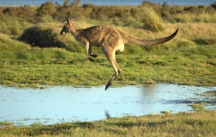 Extinct giant kangaroos may have been hop-less