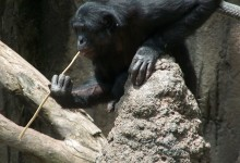 Tools and primates: Opportunity, not necessity, is the mother of invention